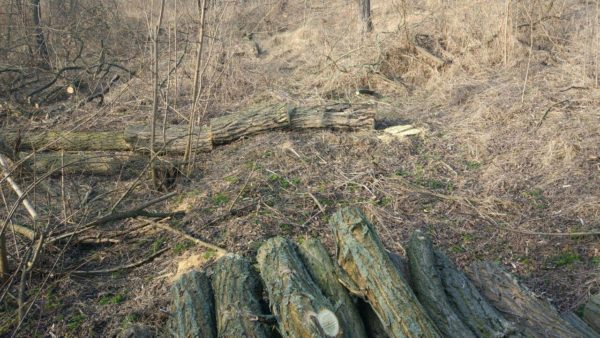 Житель Александрийского района нарубил деревьев на 103 тыс. грн
