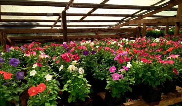 В Александрии панируют посадить более 50 тысяч цветов