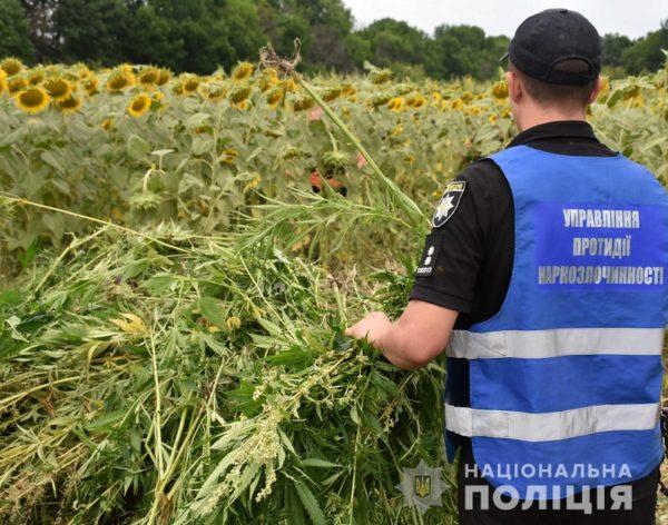 В Кировоградской области обнаружили масштабную плантацию конопли – 35 000 кустов (ВИДЕО)