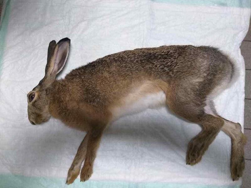 Александрийские ветеринары наложили гипс необычному домашнему любимчику (ВИДЕО)