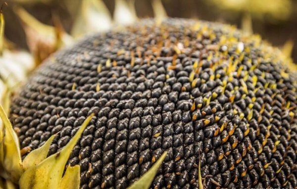 Семена подсолнечника: посевной материал для здоровья всего организма