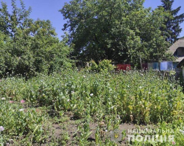На Кировоградщине на приусадебном участке местной жительницы обнаружили около 1400 кустов мака (ФОТО)