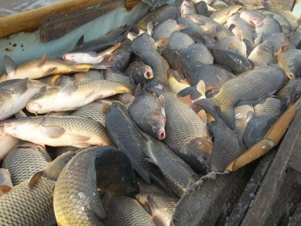 В Кировоградской области браконьеры наловили рыбы на 120 тысяч гривен