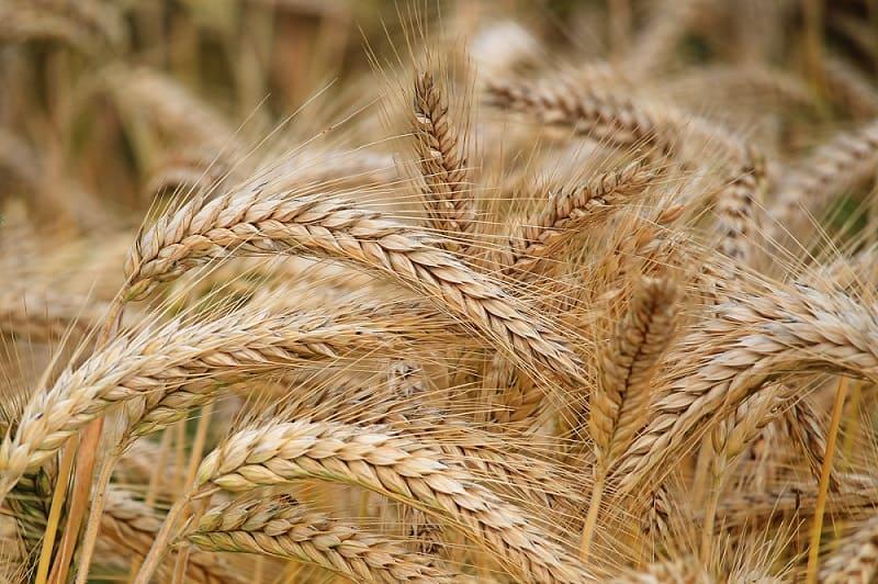 В этом году аграрии Кирощины собрали рекордное количество урожая за последние 30 лет